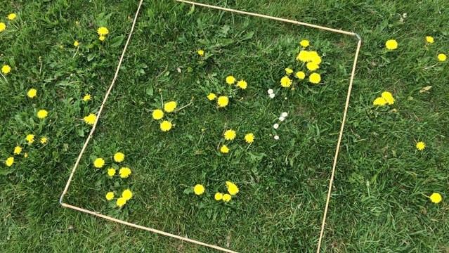 'Every Flower Counts' survey quadrant on green grass with buttercups and daisies