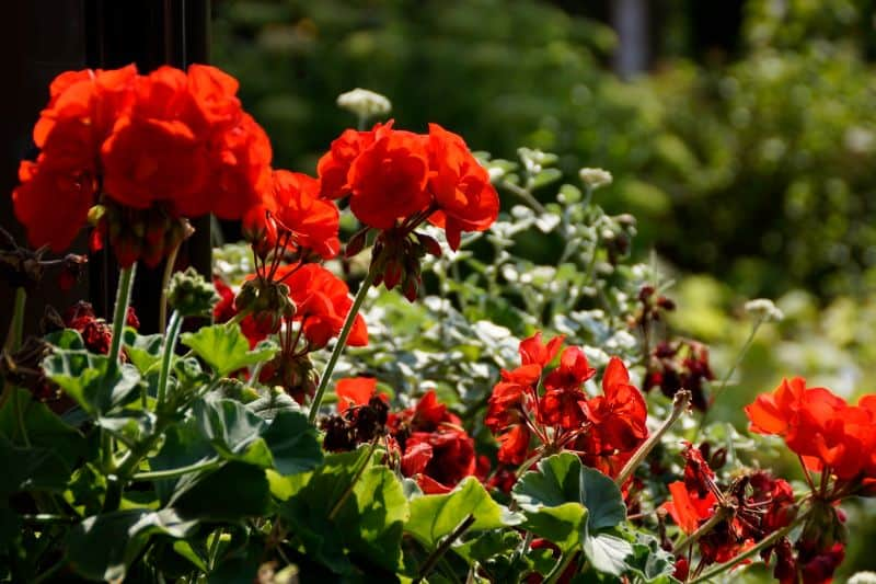 red flowers growing in a garden