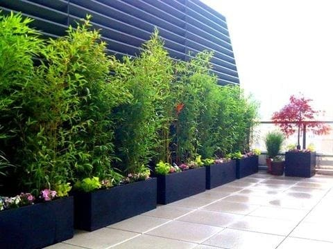 Bamboo plants as privacy screening