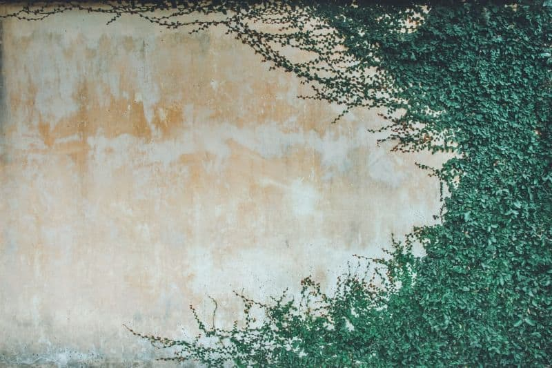 faded wall covered in plants