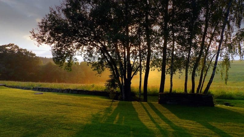 Crop of trees in a mown field at sunset