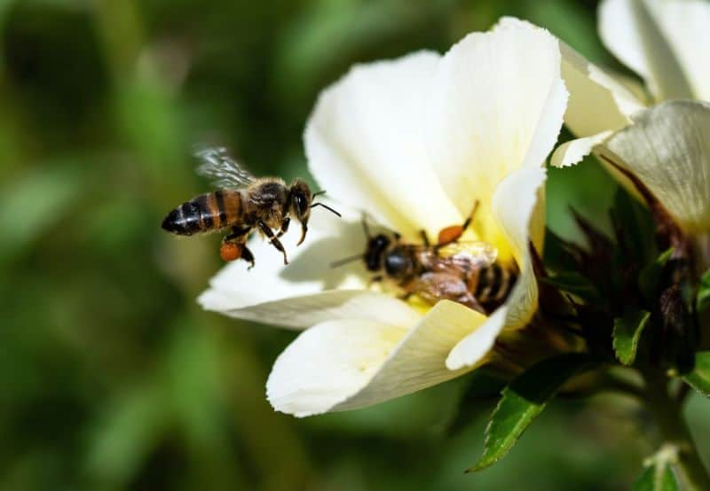 bees close-up on a white flower with blurred grass background