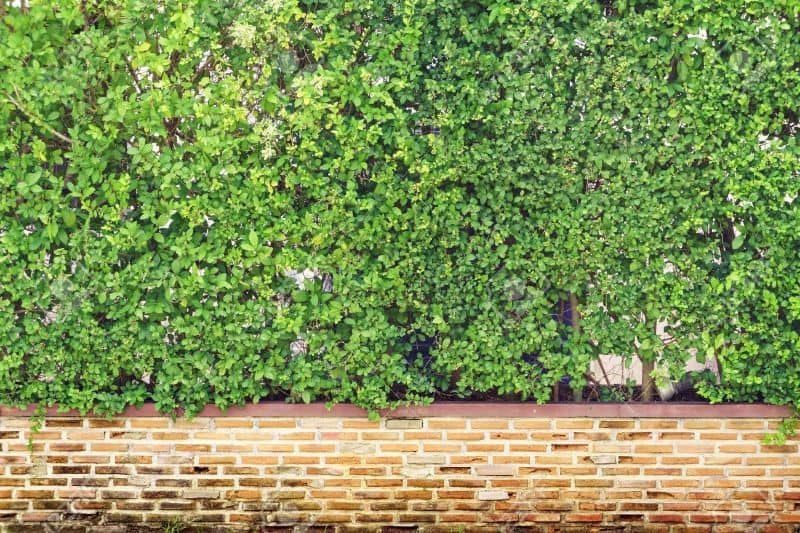 Hedges with brick walls