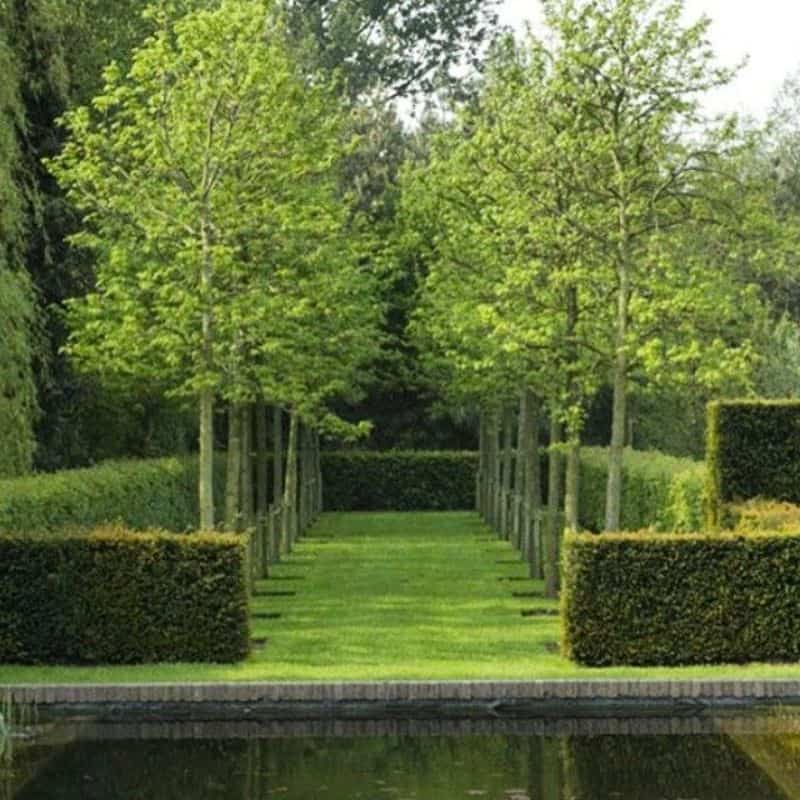 Hedges with sleek, long, tapered trees growing out of them