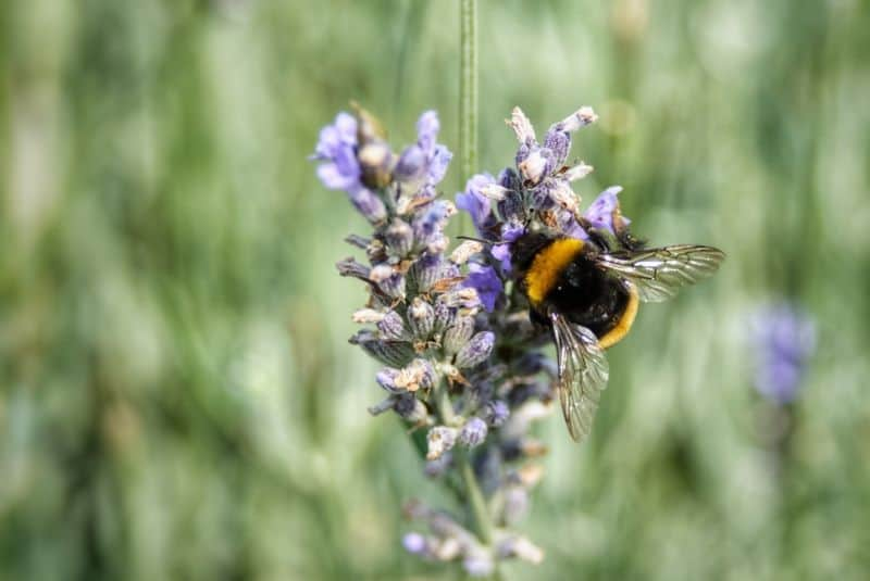 Garden plants specifically for bees