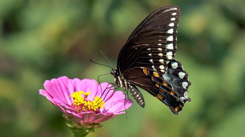 A butterfly feeding on a nectar-rich flower