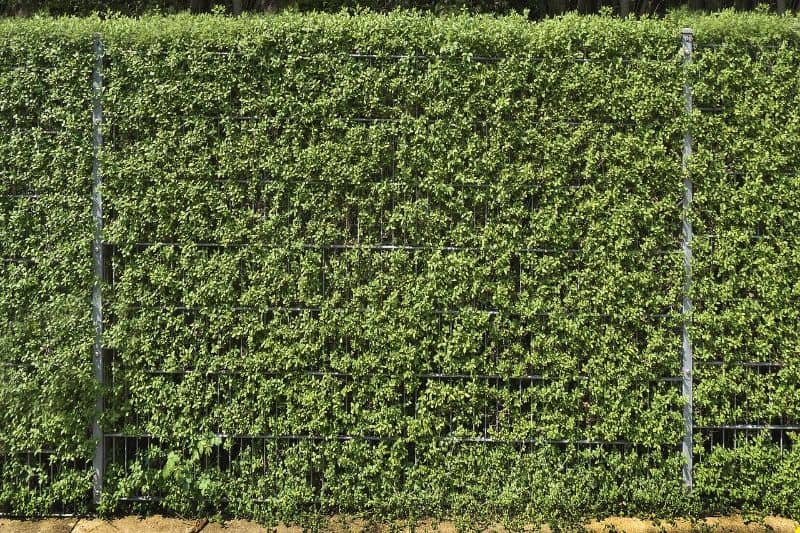 Cultivated hedgerows as a garden fence