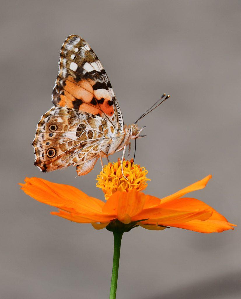 orange butterfly on orange flower