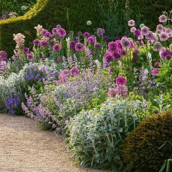 Beautiful, fragrant Lavender flowers in a cottage garden