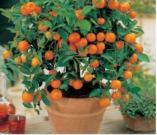 An orange tree in a pot