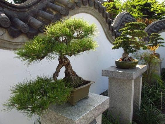 Neat bonsai trees as a focal point in the garden