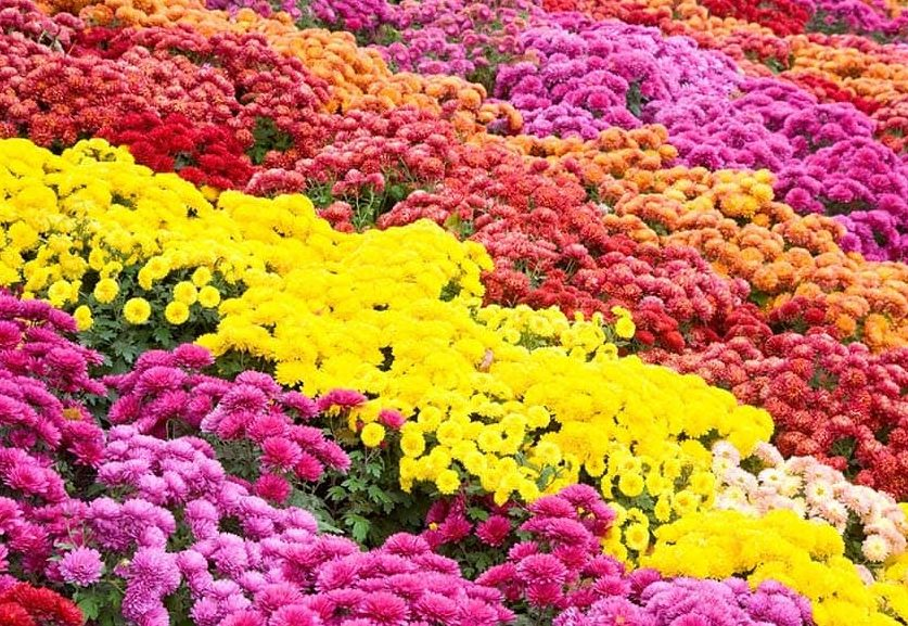 Full of Chrysanthemums in a variety of bright colours