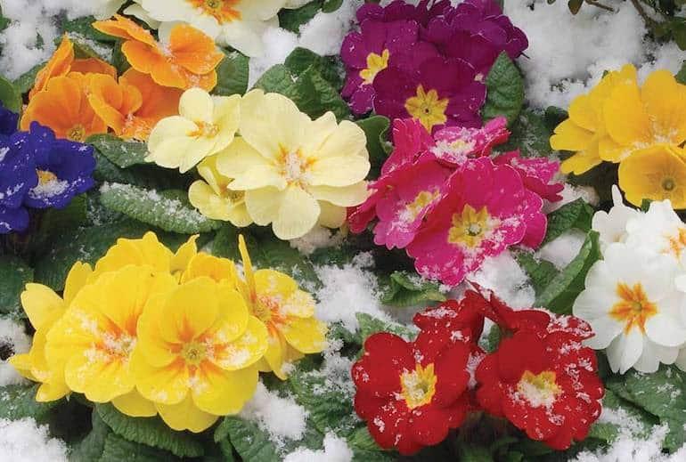Primrose in a range of colours