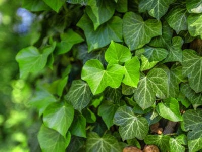 English ivy as a ground cover or a climbing vine
