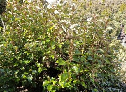 Olearia arborescens an evergreen shrub with glossy green leaves