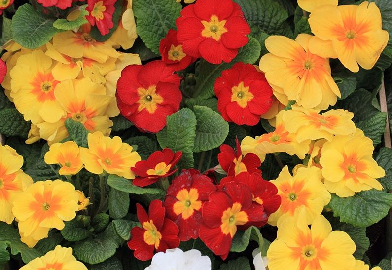 Polyanthus in a variety of bold colours