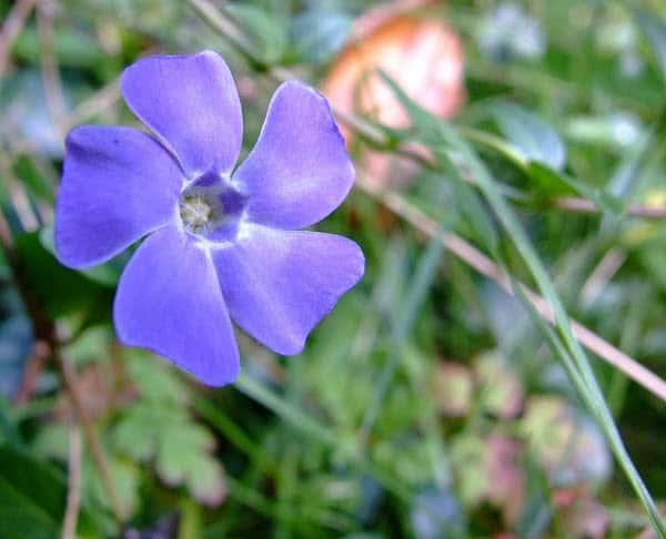Vinca minor beautiful violet flowers