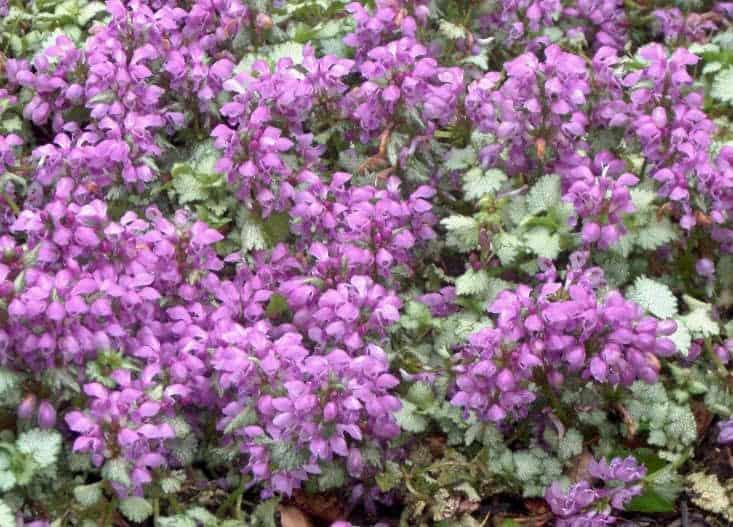 Lamium maculatum which are semi-evergreen plants