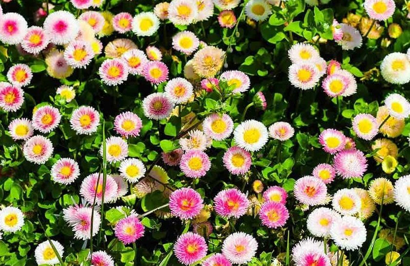 Small, pretty Bellis perennis in a flower bed