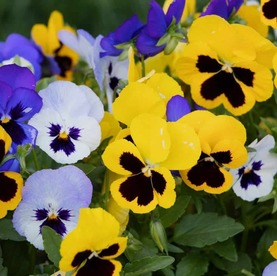 Colourful winter pansies in blue, purple and yellow shades