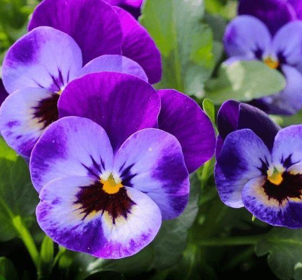 Fresh bloom of Voilas