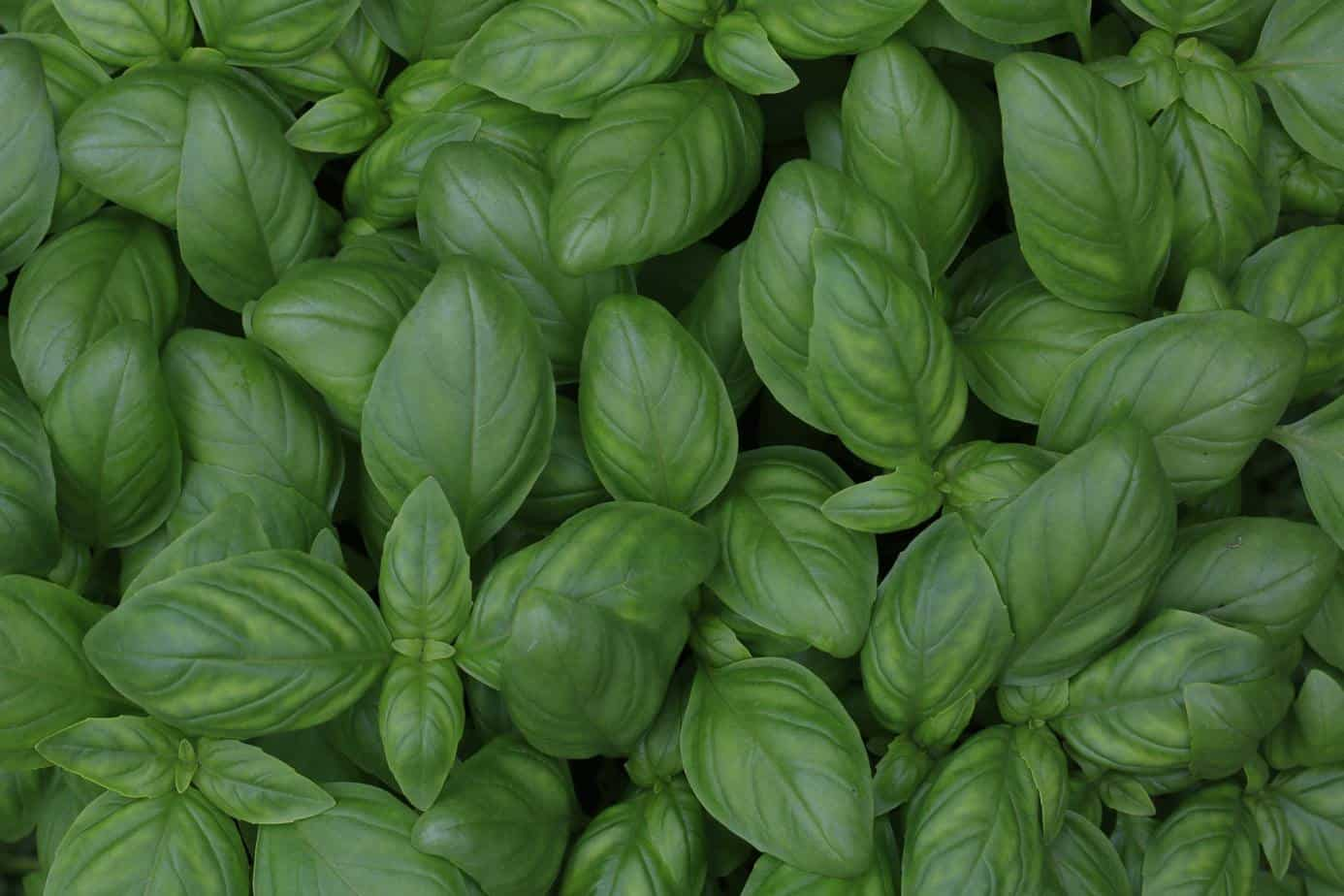 A bunch of basil leaves